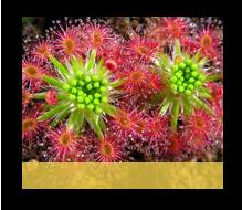Plante Carnivore Drosera