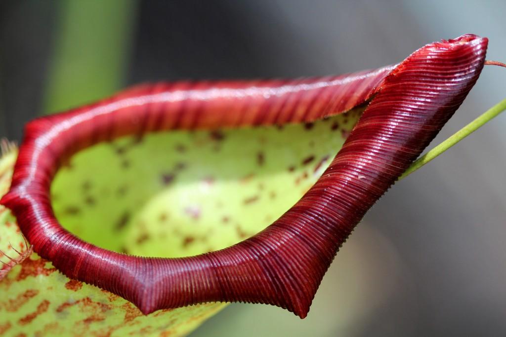 piège de plante carnivore passif