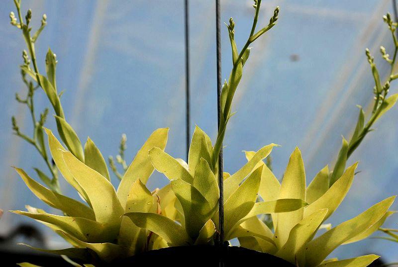 catopsis-berteroniana