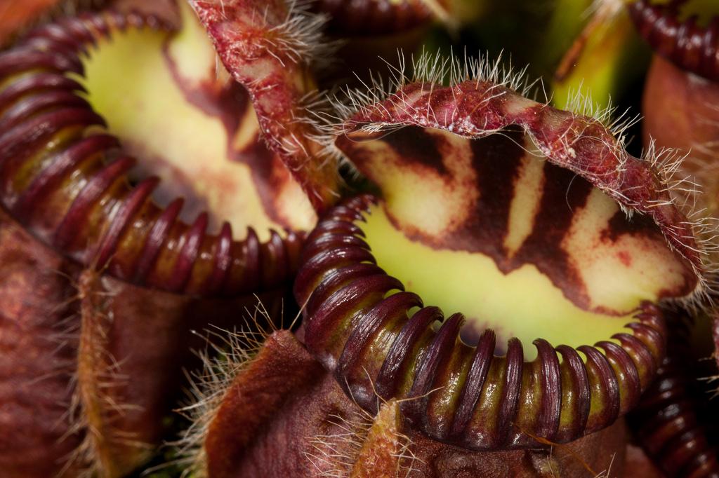 cephalotus-follicularis-piege
