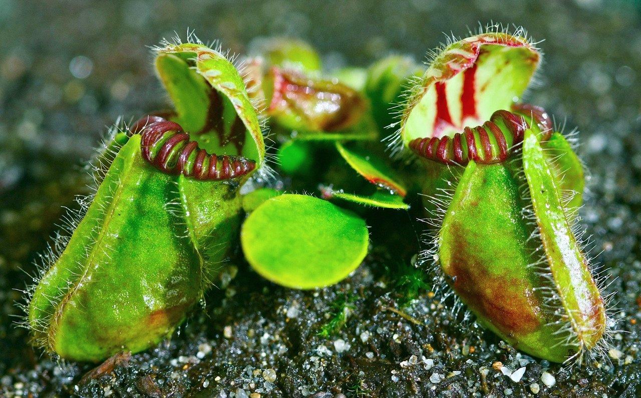 cephalotus-follicularis