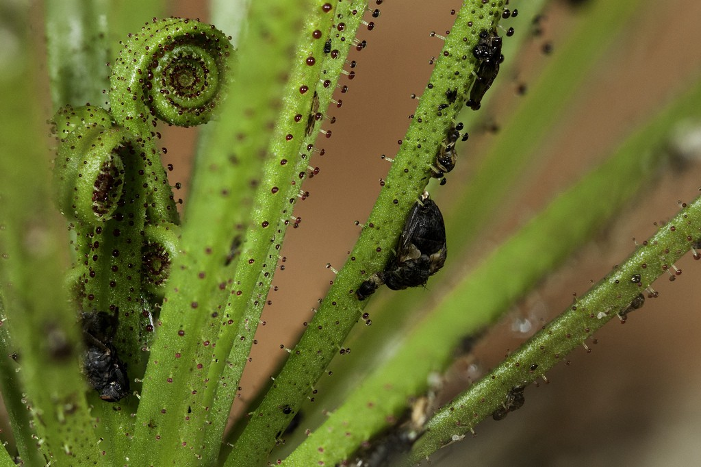 drosophyllum