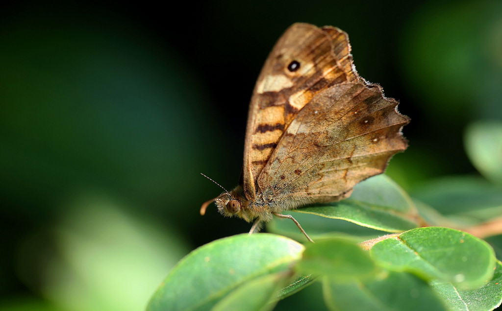 lepidopteres