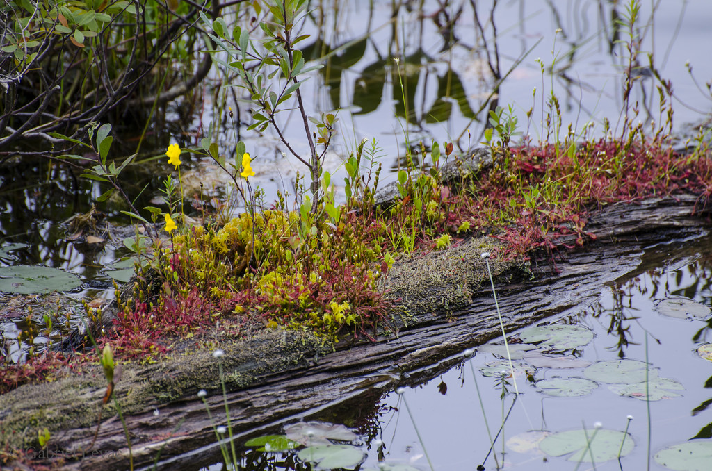 utricularia-intermedia