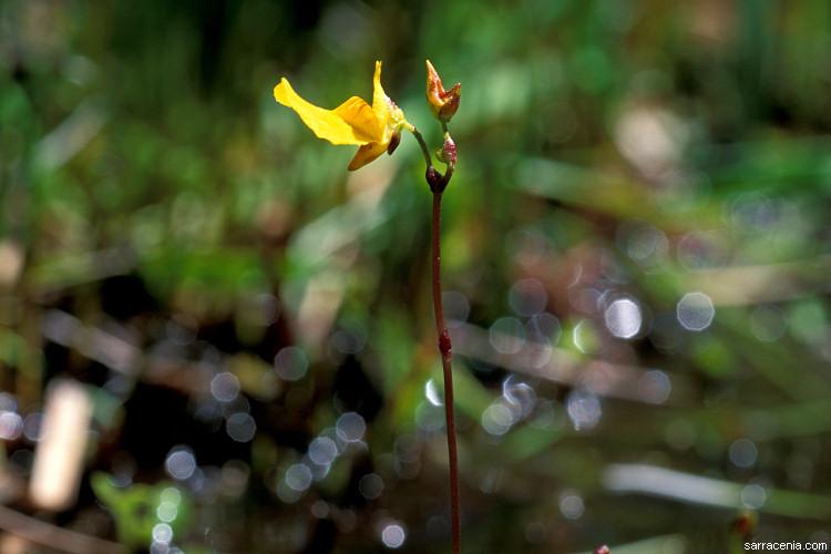 utricularia-ochroleuca