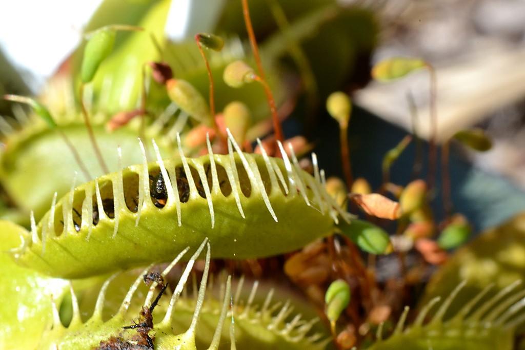 Les pièges des Plantes carnivores