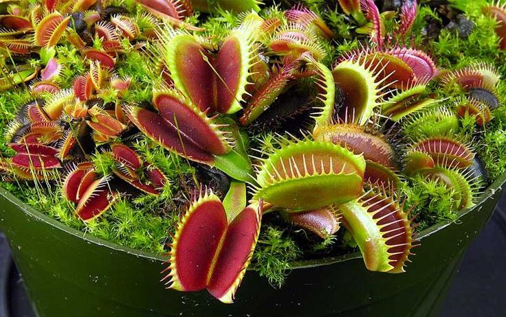 plante carnivore nom