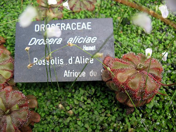 Drosera aliciae